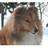 Sheltie Icon