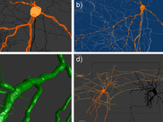 Neuron reconstructions