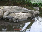 In this picture the mouth of the crocodile is growing bigger